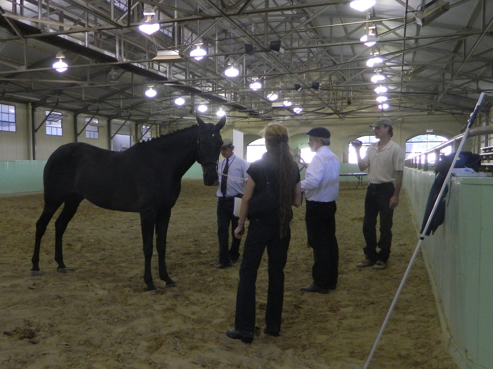 B-Caranja, as a young mare at her APSL inspection.