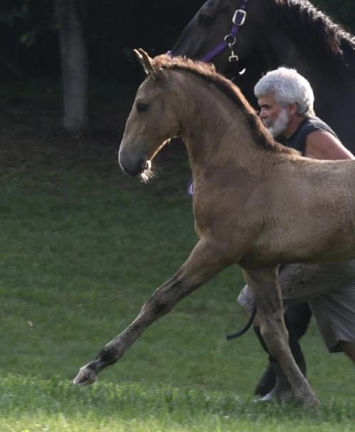 Ouro CAL: Buckskin Lusitano stallion born April, 2018 is for sale. Sire: Jade, Dam: Haute Tantra.