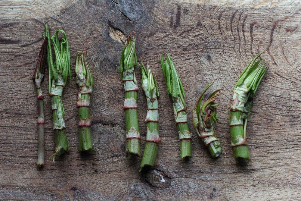 Wilde eetbare plant, Japanse duizendknoop, foto door Ben Brumagne van Forest To Plate