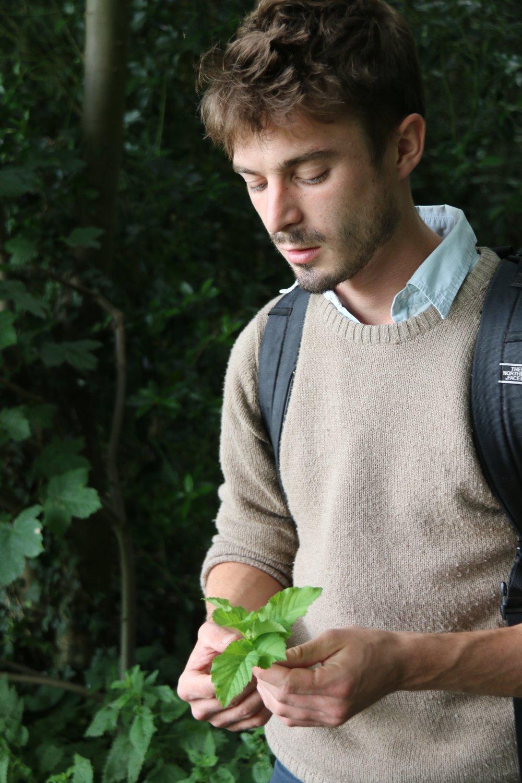 Wilde eetbare plant Zevenblad geplukt door Ben Brumagne van Forest To Plate, foto van Ann Vansteenkiste