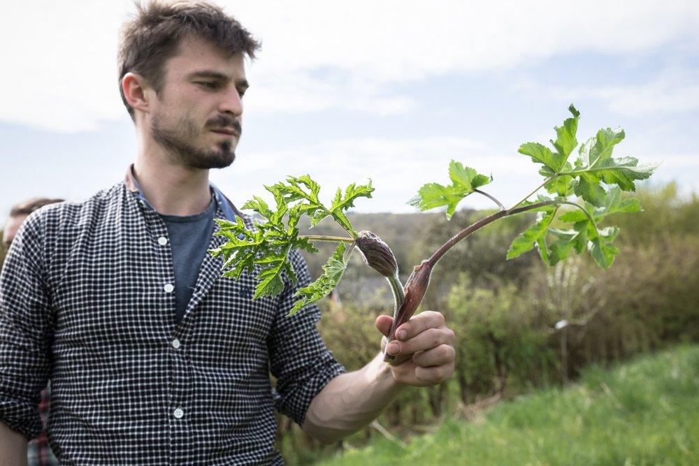Wilde eetbare plant berenklauw geplukt door Ben Brumagne van Forest To Plate. Foto van Francois van Heel