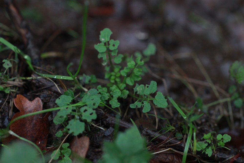 wilde eetbare plant kleine veldkers, getrokken door Ben Brumagne van Forest To Plate