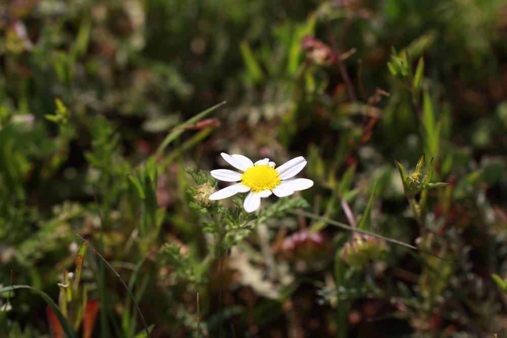 """Wilde eetbare plant, Echte Kamille, foto genomen in Israel door Ben Brumagne van Forest To Plate voor documentaire """"Spijs en Vree"""" in Israel en Palestina"""