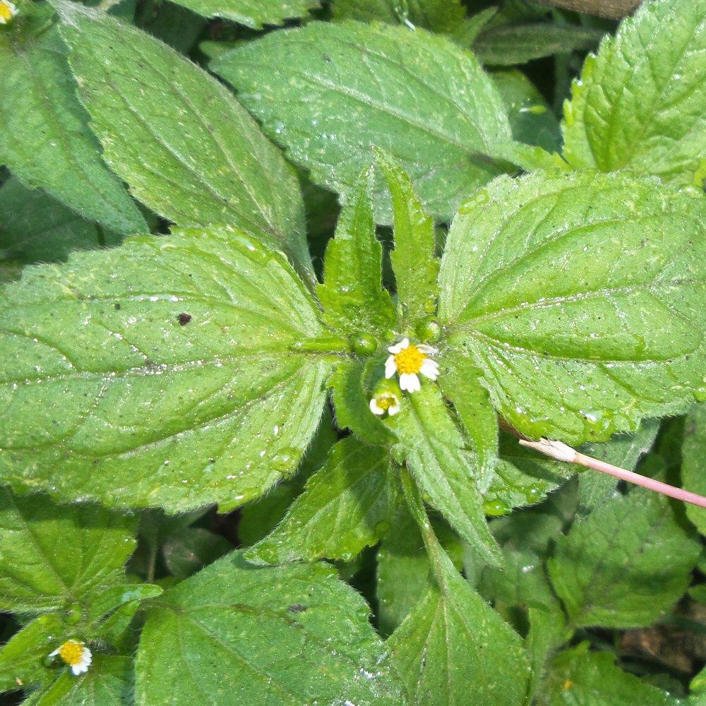 wilde eetbare plant Knoopkruid, genomen door Ben Brumagne van Forest To Plate in Nepal