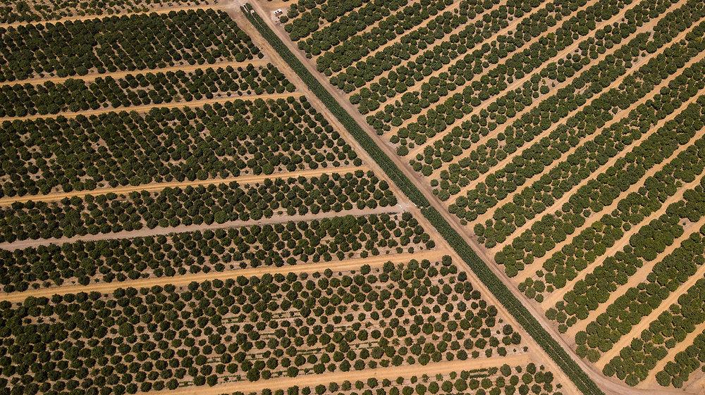 Plantaciones de naranjas, Huacho.