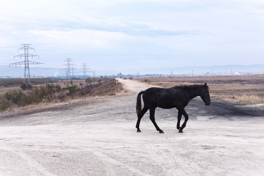 Wild Horse Romania