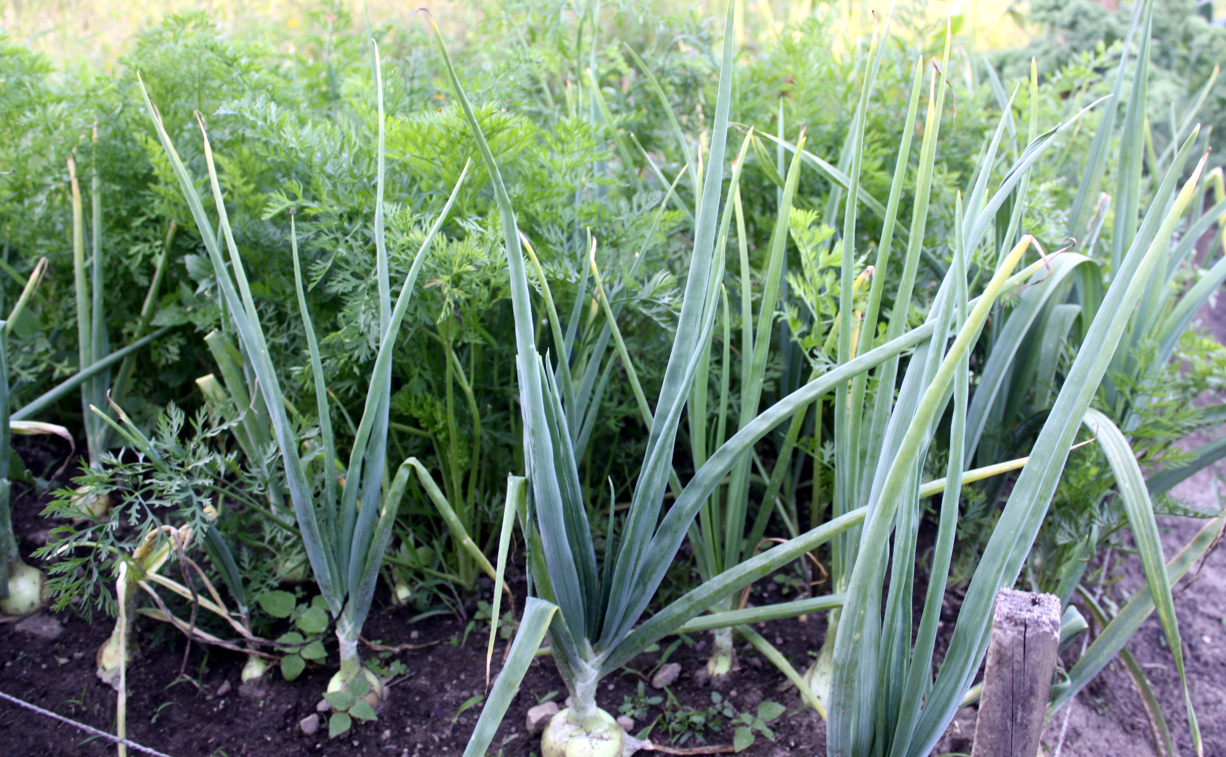 Green onions have one of the highest concentrations of phytonutrients.