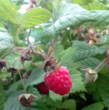 Red raspberry. Photo by elena gustavson