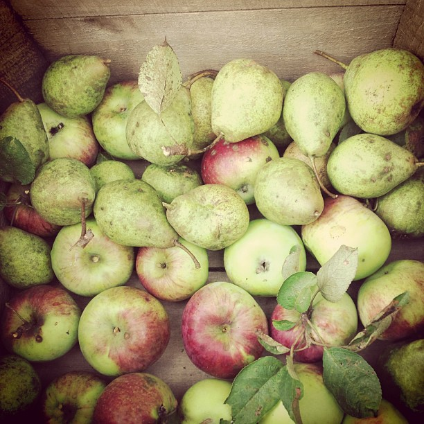 pears and apples from the farm. photo by elena gustavson