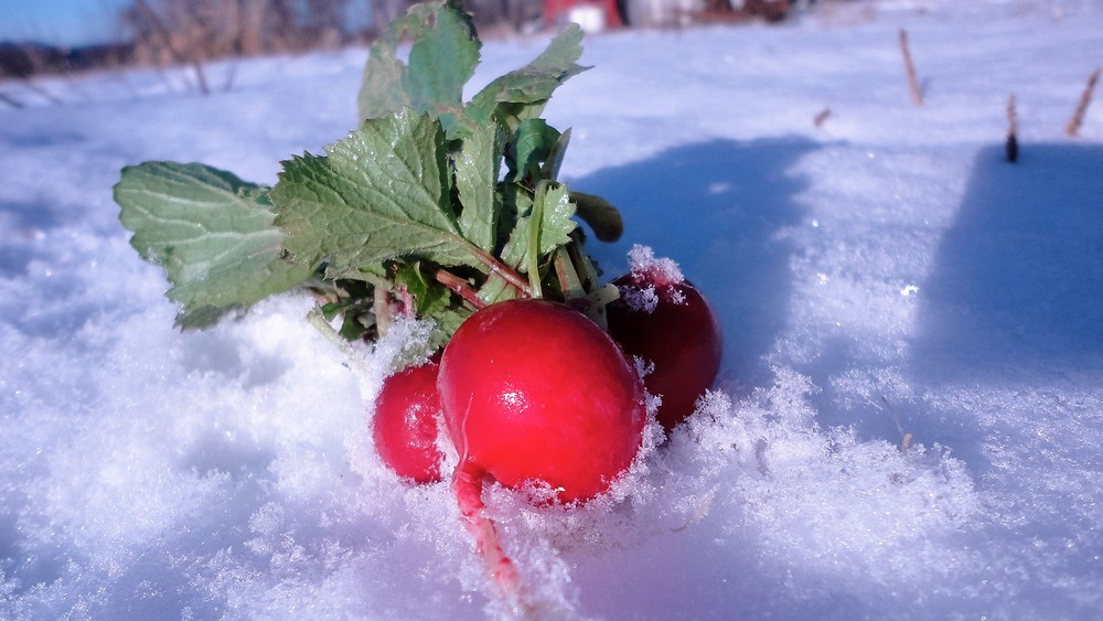 Radishes in snow, photo credit to Lindsay Courcelle, Alchemy Gardens, Rutland