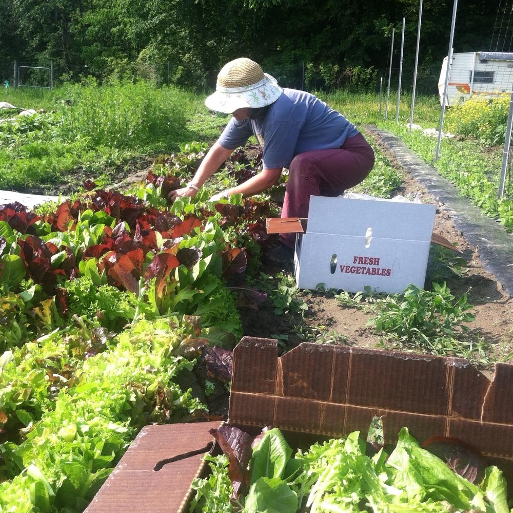Volunteer Arlyn at Dutchess Farm June