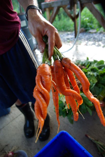 Carrots, naturally twisted