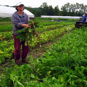 A volunteer gleaning on Dutchess Farm