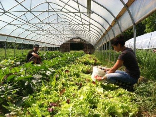 Gleaners harvesting salad greens. Photo courtesy of Theresa Snow