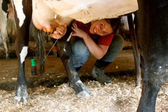 Garland Mason preparing a cow for milking.