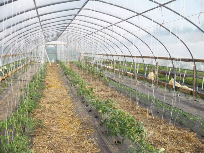 In their high-tunnel at Radical Roots Farm, these tomatoes are protected from adverse weather as well as certain insect pests and plant diseases/Radical Roots photo