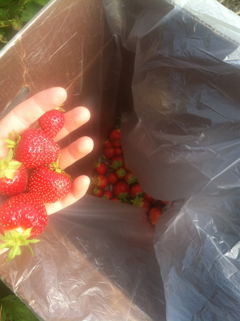 Strawberries gleaned from Wood's in 2015