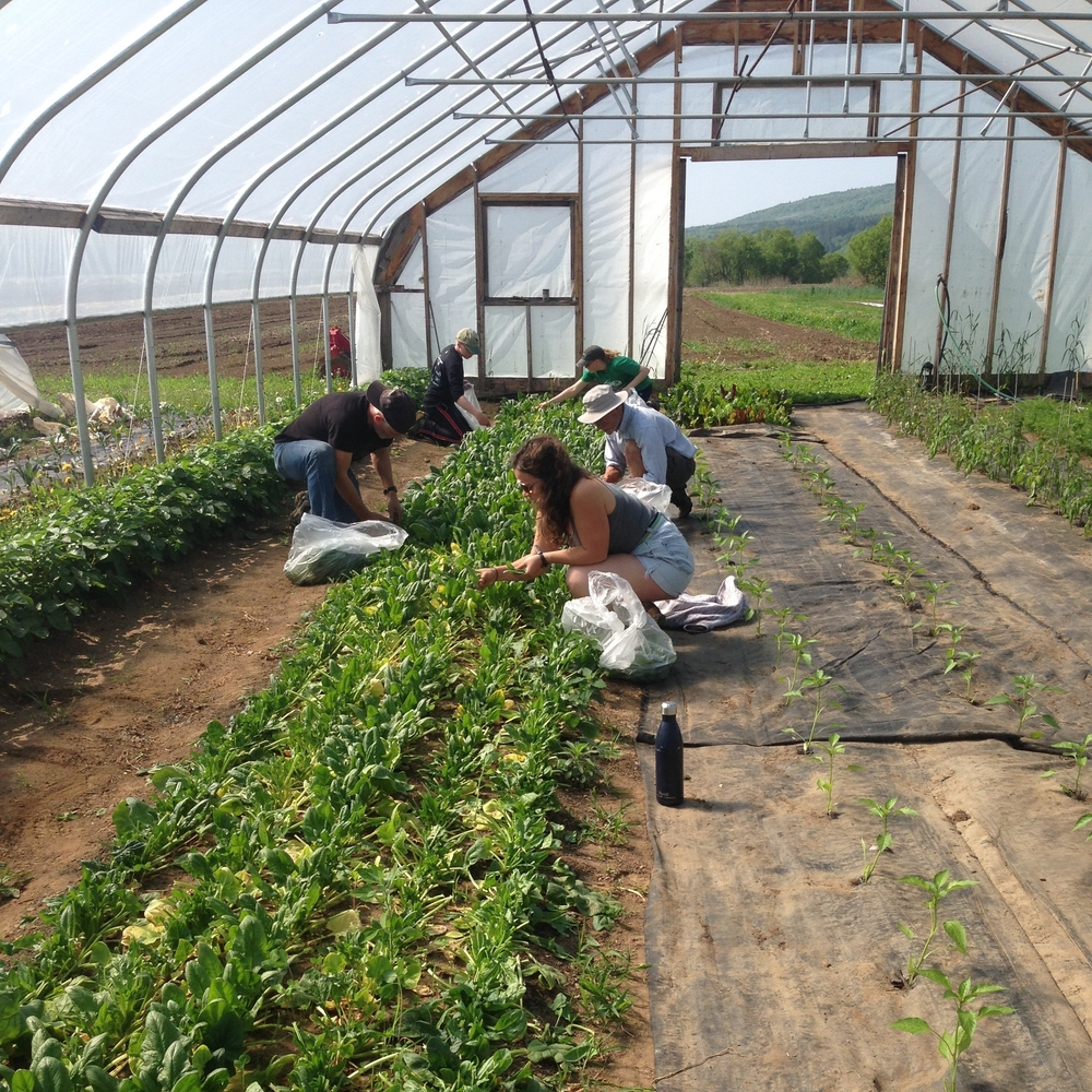 Volunteers harvest spinach at Radical Roots Farm for the first glean of the 2016 season!