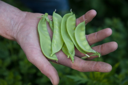 Snap peas in the garden. Poultney, VT - Photo credit Heidi Bagley Photography, 2016