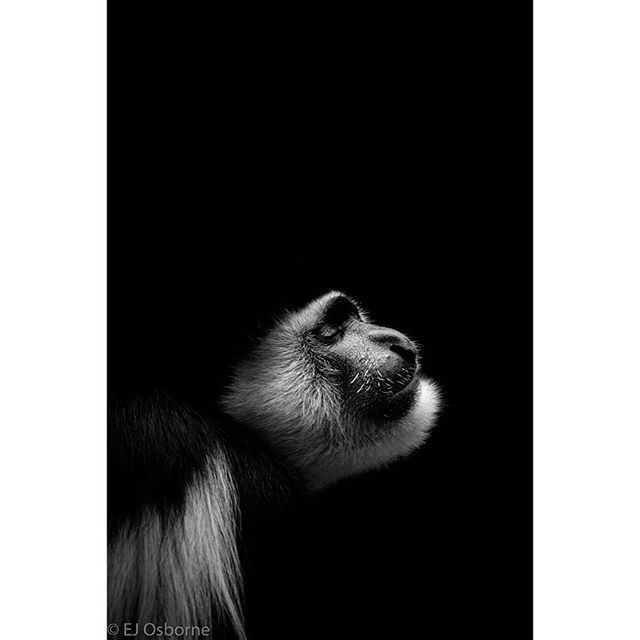 Solitude 🖤  #apes #colobus #colobusmonkey  #photographer #photography #photooftheday #wildlifephotography #zoophotography #monkey #silhoutte #highkey #naturallighting #blackandwhite #natural #endangeredspecies #nationalgeographic @nationalgeographicpictures @natgeo #zoo #conservation #canon #canonphotography #canonphoto @canonuk @uwl_lsfmd