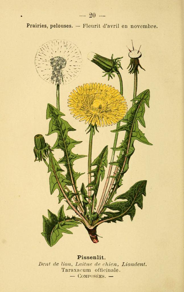 gravures_fleurs_prairies_champs_bois_-_pissenlit_-_taraxacum_officinale_-_dent_de_lion_-_laitue_de_chien_-_liondent.jpg