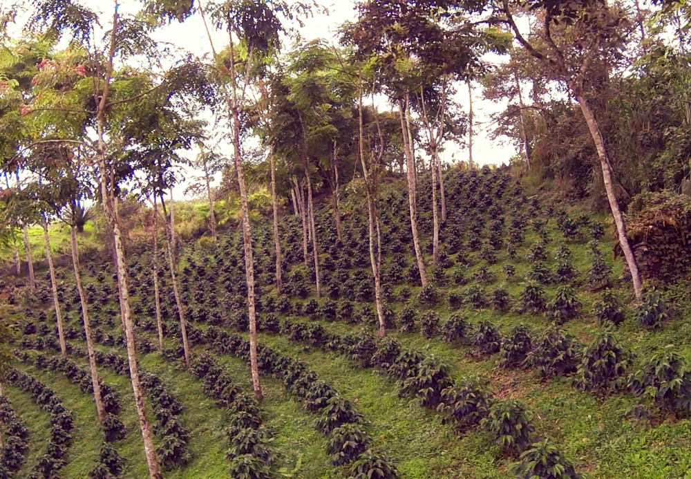 flying-through-a-shade-grown-organic-coffee-plantation_4nw92hstx__F0000.png