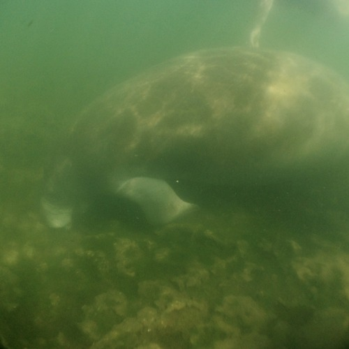 Hello, Mr. Manatee!