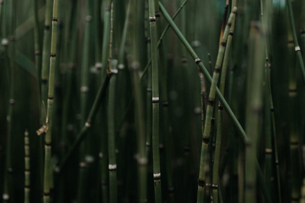 Bamboo in Columbus, Georgia.