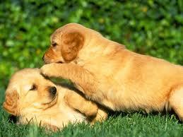 Puppy Headstart and Socialization
