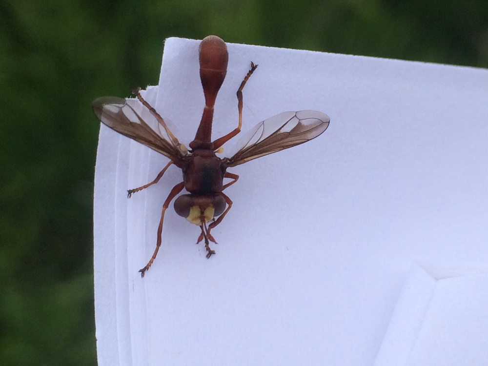 This adorable wasp mimic landed on my data sheet and hung out for about 15 minutes!
