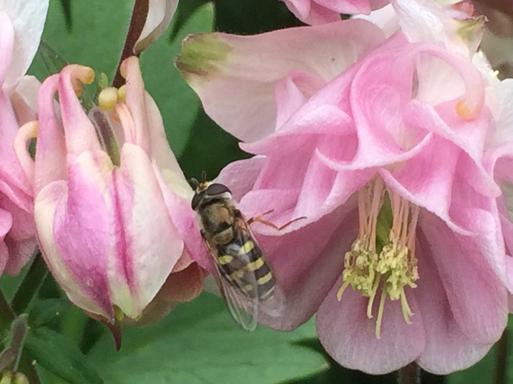This hoverfly crawled out of her flower to pose for my camera. Say cheese!