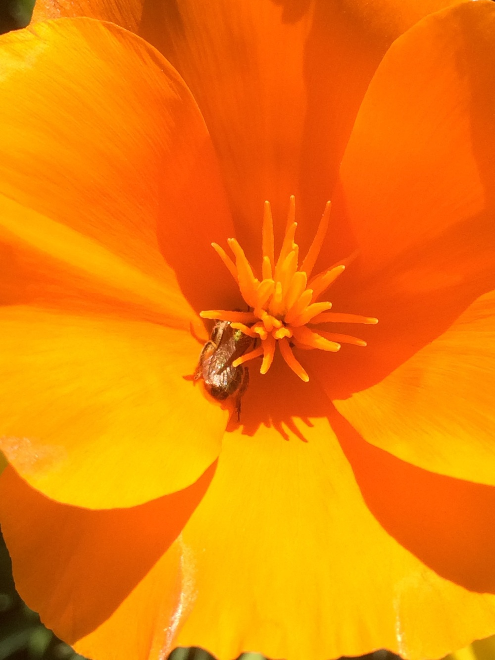 A sweat bee on poppy.