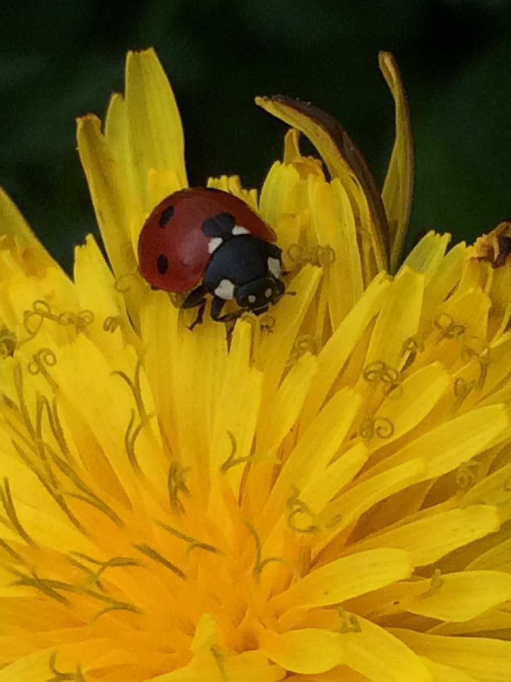 A ladybird beetle on common dandelion.
