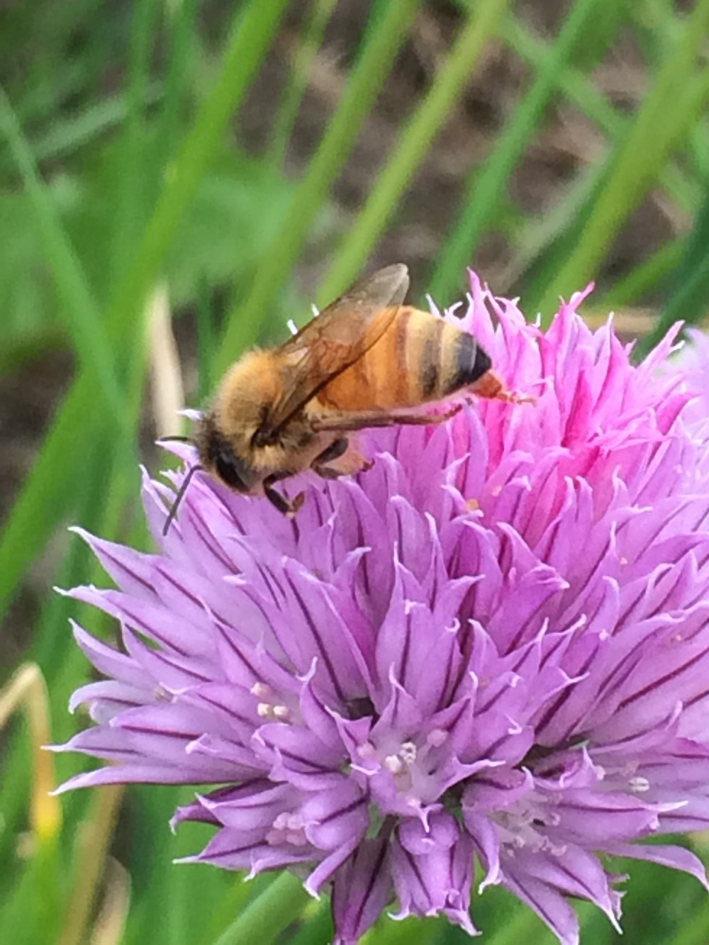 A female honeybee on chive.