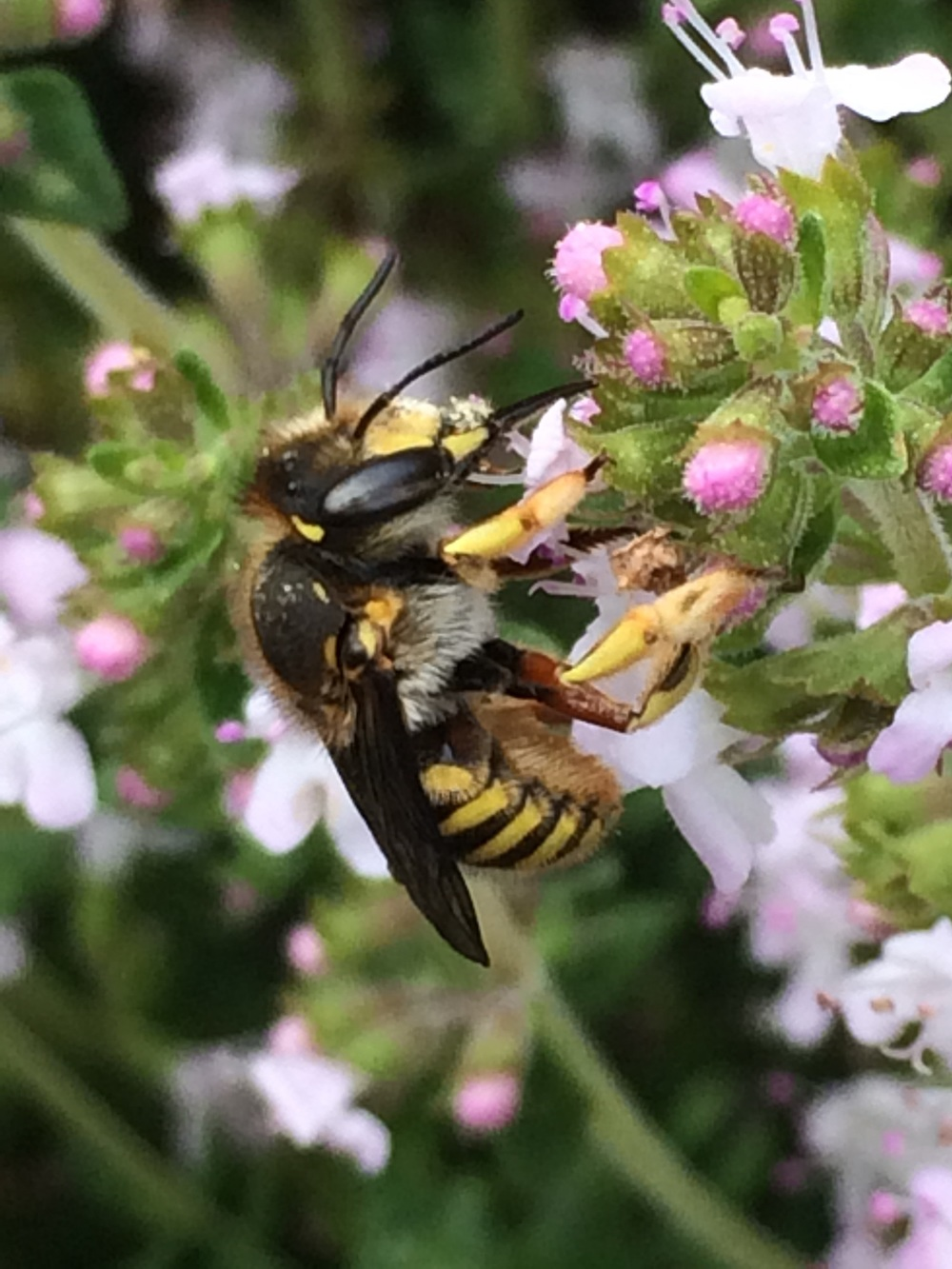 A female wool carder bee visiting thyme.