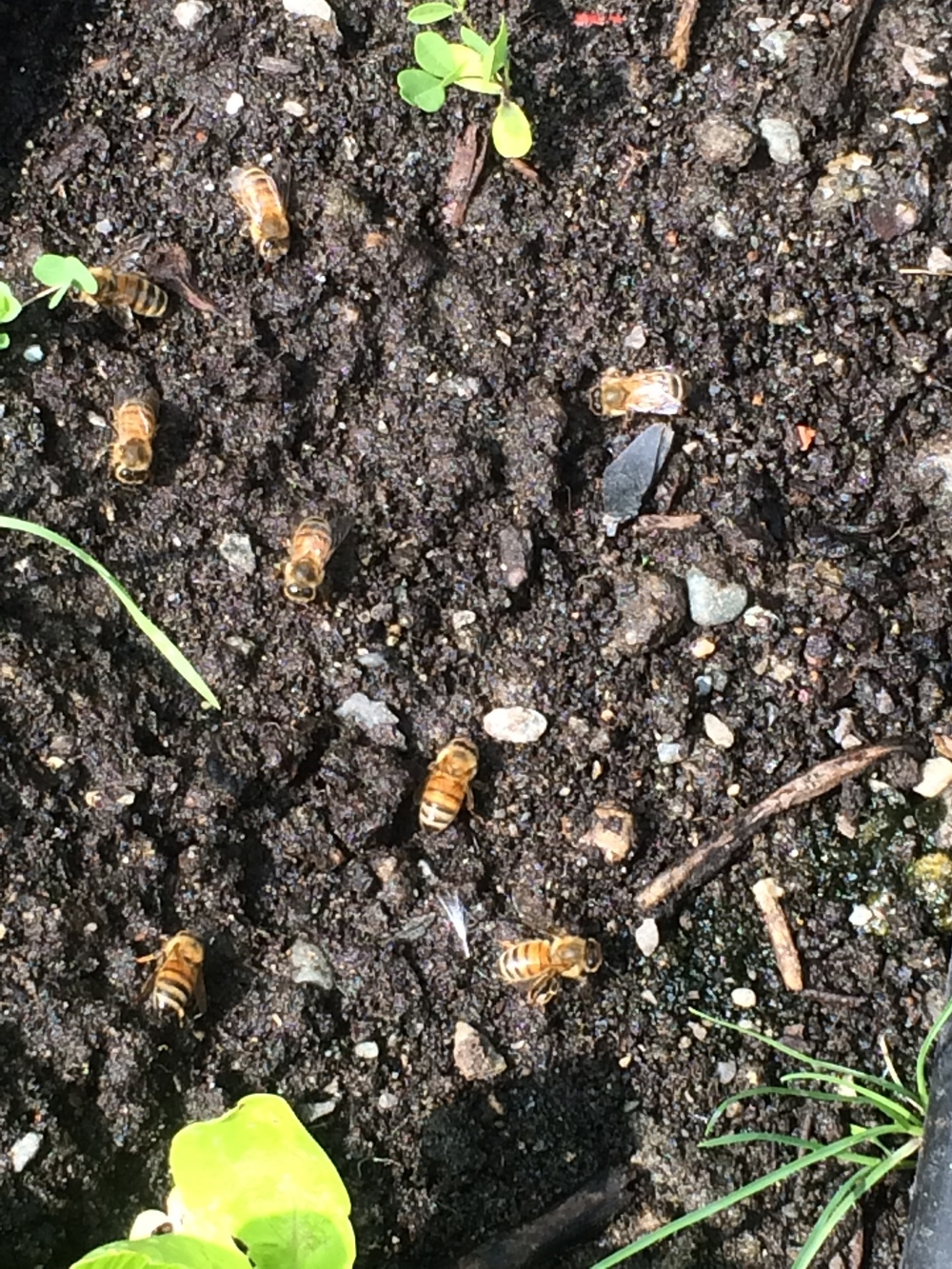 Honeybees drinking water from the soil.