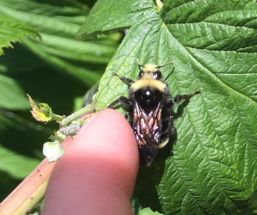 Bombus vosnesenskii waking up on a raspberry leaf.