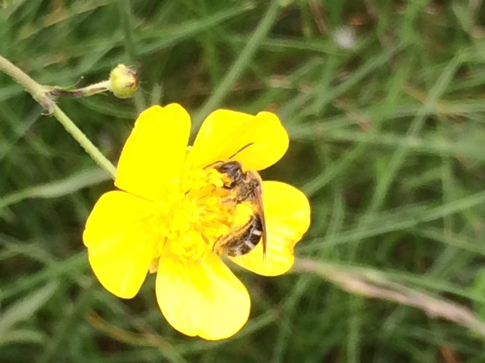 Female Halictis foraging on buttercup.