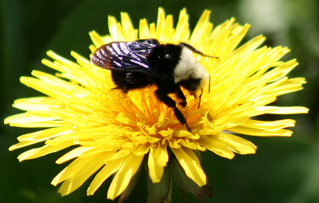 Bombus vosnesenskii worker on dandelion. Photo credit: Flickr creative commons, user born1945