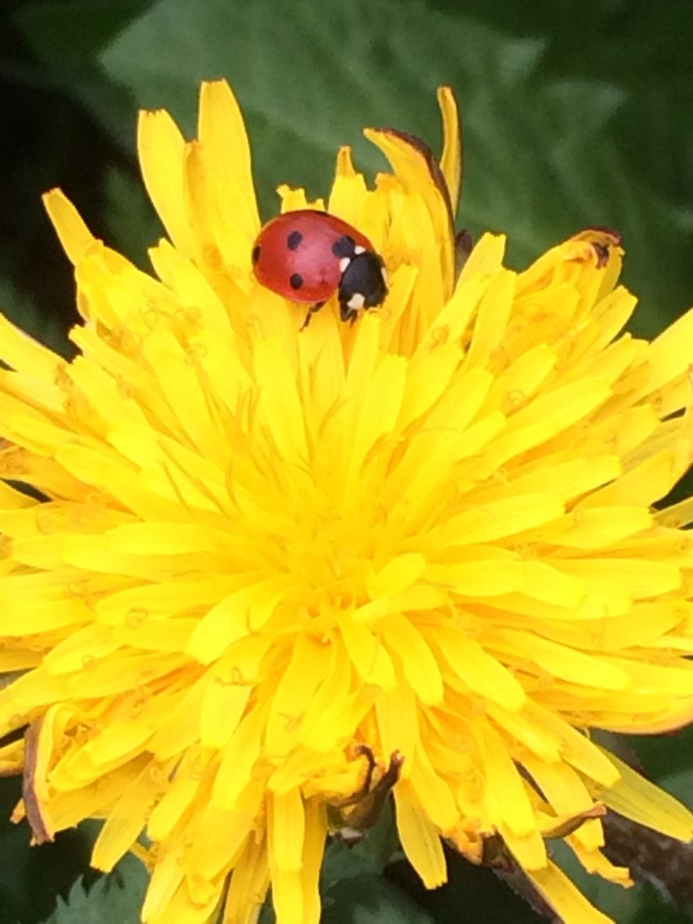 Bees aren't the only beneficial insects to visit dandelions. Ladybird beetle visiting a dandelion. Photo by Rachel Olsson.
