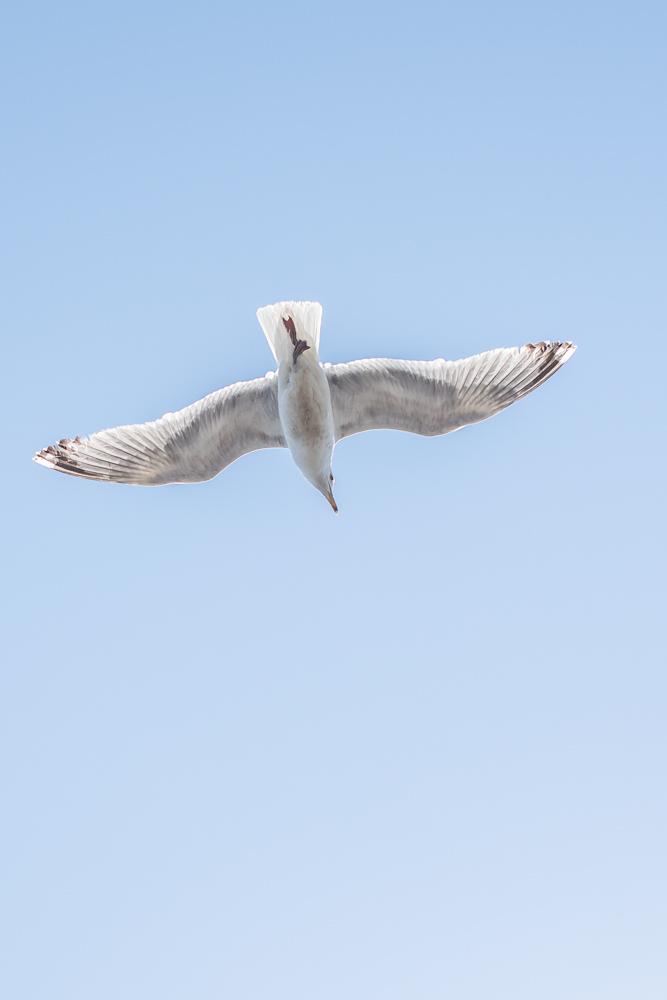 A seagull in flight