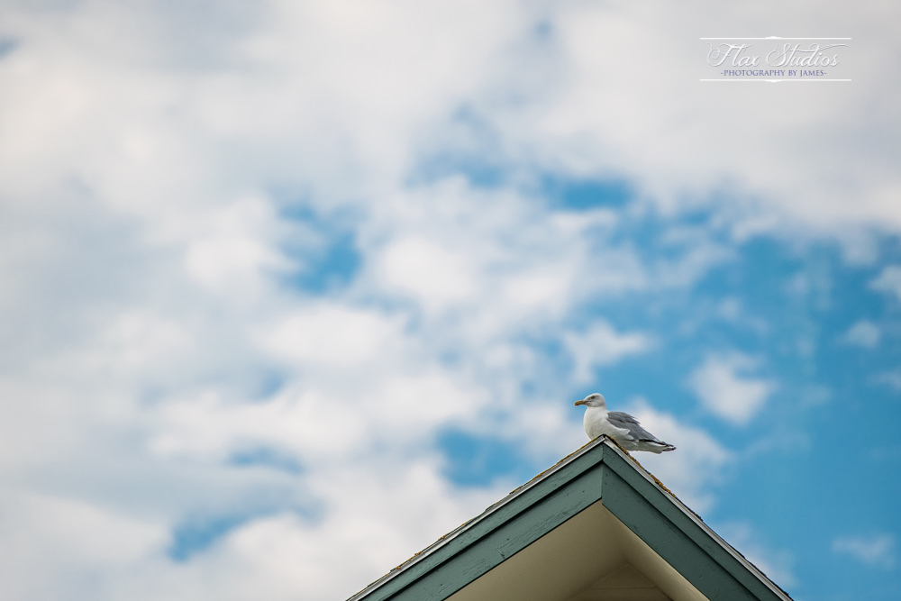 Spruce Point Inn Seagull on the rooftop