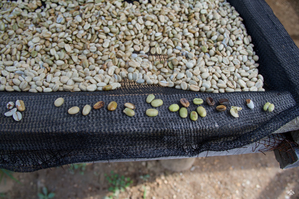 Examples of undesirable beans picked out of the lots during this stage before the coffees are laid out to dry.