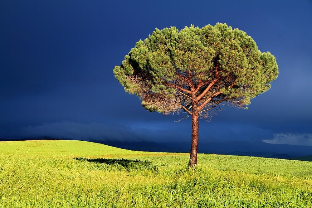 Tuscan Pine