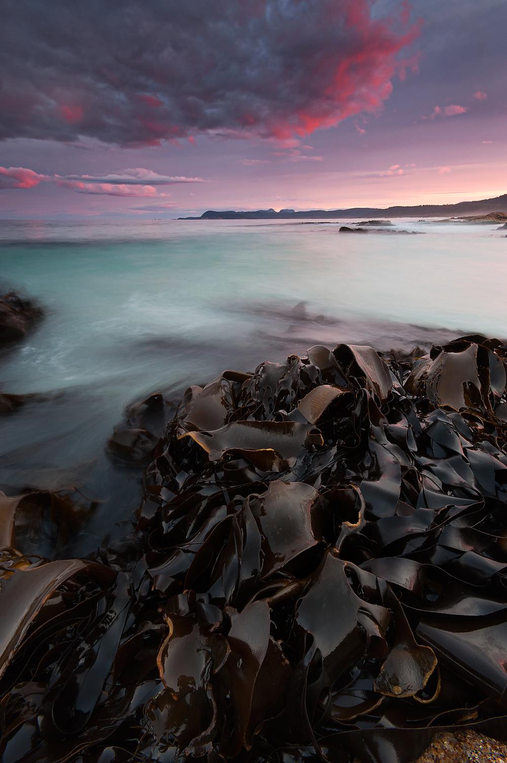 Bull Kelp © Hillary Younger