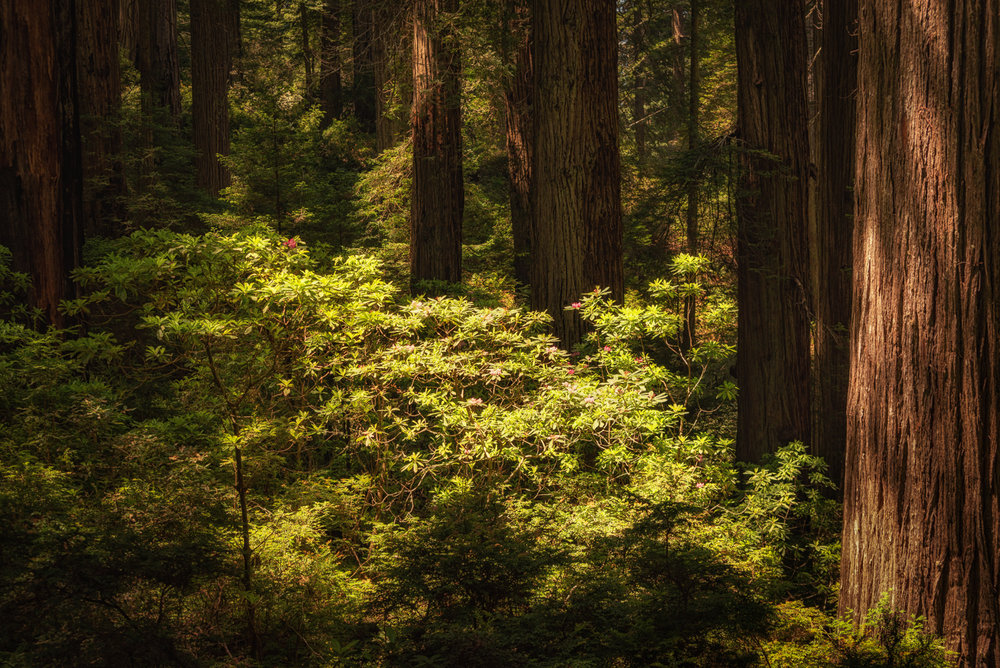 The rhododendrons of the Redwood Forests in filtered, yet direct light in the Del Norte Coast Redwood State Park.