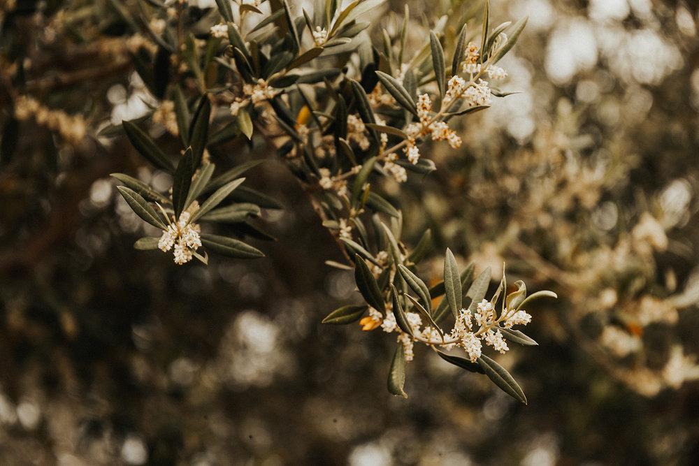 Tuscany Italy olive trees