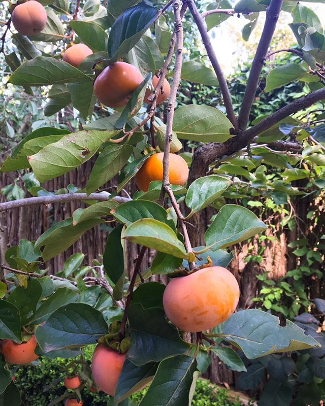 These little beauts got ready just in time for the @thegardenconservancy Open Day Tour! Come see what fancy cocktail I turn our home grown persimmons into this Saturday 10-4 at our Sprout featured garden!! For more info check out gardenconservancy.org #openday2017 #gardentouraustin #persimmons #fallfruit #homegrown