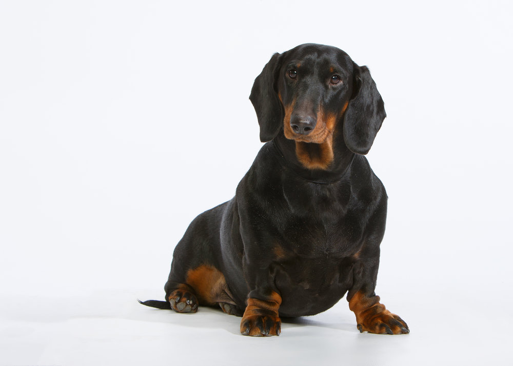 Dachshund_Hanibel-4420-Edit.jpeg