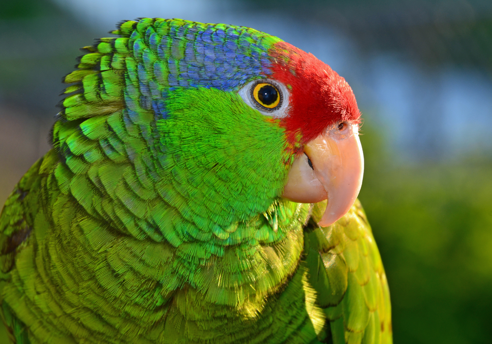 Red-crowned Amazon Parrot